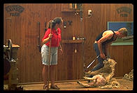 Sheep shearing demonstration for tourists in Rotorua, North Island, New Zealand.