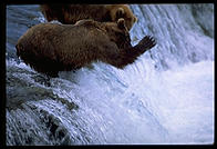 The 4-year-old brown bear who charged me, ineffectively swatting to fish at Brooks Falls, Katmai National Park, Alaska.