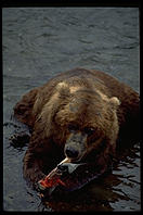 When salmon are plentiful, bears prefer to eat only the high-fat skin.  Katmai National Park, Alaska.